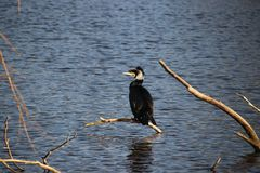 Cormorant with winter fur sitting on twig above a pool in Capelle aan den IJssel. In the Netherlands Royalty Free Stock Photography