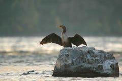 cormorantdryingvingar Arkivbilder
