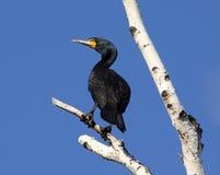 Cormoranten perched upp i tree med den blåa skyen Fotografering för Bildbyråer