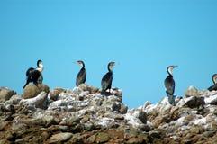 cormorantfamilj Arkivfoton