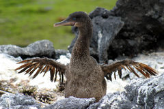 cormorantflapping Royaltyfri Bild