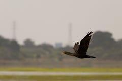 cormorantflyg Royaltyfri Fotografi