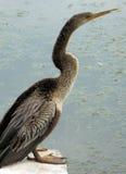 cormorantkvinnlig nära vatten Arkivbilder