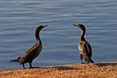 cormorantpar Royaltyfri Bild