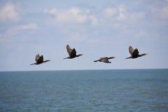 cormorants Royaltyfri Fotografi