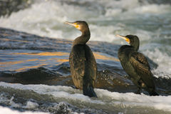 Cormorants. On the river in winter Stock Photography
