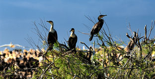 Cormorants Royalty Free Stock Photo