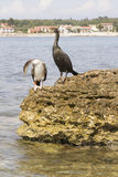 Cormorants Royalty Free Stock Photography