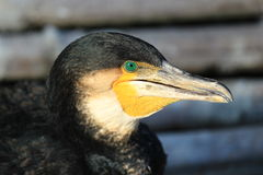 CORMORANTS Stock Images