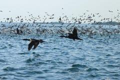 cormorants Стоковая Фотография