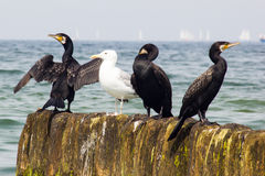 cormorants Imagens de Stock Royalty Free