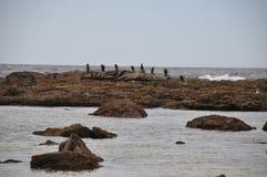 cormorants fotografia de stock