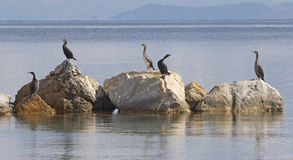 Cormorants. In Stintino, Sardinia, Italy stock photos
