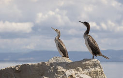 Cormorants. In Stintino, Sardinia, Italy royalty free stock images