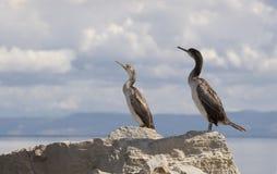 cormorants royaltyfria bilder