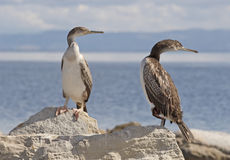 Cormorants. In Stintino, Sardinia, Italy stock images