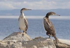 cormorants arkivbilder