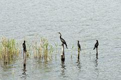 Cormorants and African Darter Royalty Free Stock Photos