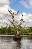 Cormorants on Bald Cypress Tree Stock Image