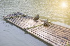 Cormorants and bamboo raft Royalty Free Stock Images