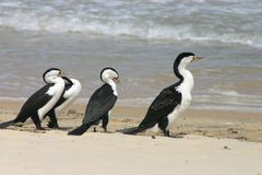 Cormorants on beach Stock Photos