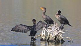 Cormorants birds. Black cormorant birds drying their wings on drift wood in ocean royalty free stock images