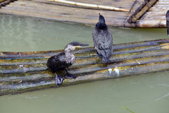Cormorants birds Stock Photography