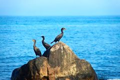 Cormorants. Birds on Boulder in ocean Royalty Free Stock Photo