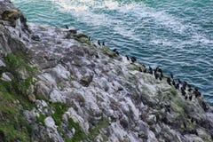 Cormorants Birds on the Oregon Coast Rock Face. A large group of Cormorant Birds on the Rock Face near Florence Oregon Stock Images