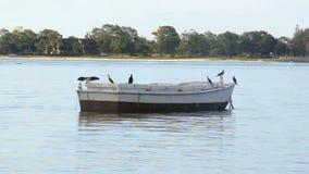 Cormorants On Boat stock footage