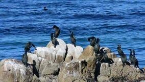 Cormorants in California stock video footage