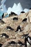 Cormorants co habiting with gentoo penguins Stock Images