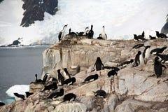 Cormorants co som habiting med gentoopingvin Royaltyfri Bild