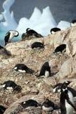 Cormorants co som habiting med gentoopingvin Arkivbilder