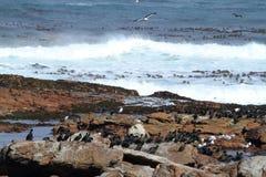 Cormorants at the Coast of Cape of Good Hope Royalty Free Stock Photos