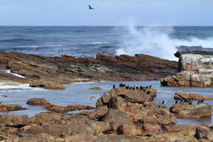 Cormorants at the Coast of Cape of Good Hope Royalty Free Stock Photo