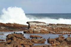 Cormorants at the Coast of Cape of Good Hope Stock Photo