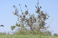 Cormorants colony Royalty Free Stock Photo