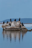 Cormorants. Cormorant fishing on mediterranean sea Stock Photography