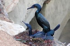 Cormorants couple are having sex. One Cormorant couple is having sex in their nest home at La Jolla, California, USA Stock Image