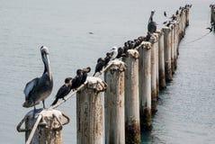 Cormorants in Cruise Port General San Martin Pisco - Peru Stock Photos