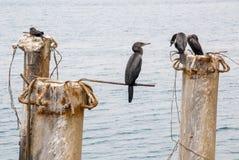 Cormorants in Cruise Port General San Martin Pisco - Peru Stock Photo