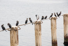 Cormorants in Cruise Port General San Martin Pisco - Peru Royalty Free Stock Photo