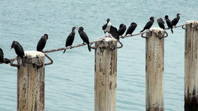 Cormorants in Cruise Port General San Martin - Pisco - Peru stock footage