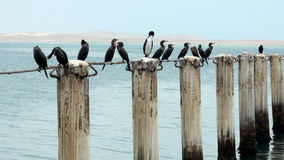 Cormorants in Cruise Port General San Martin - Pisco - Peru stock video footage