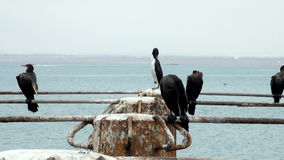 Cormorants in Cruise Port General San Martin - Pisco - Peru stock video