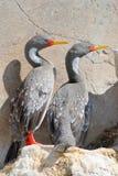 Cormorants de patas encarnadas no Patagonia Fotos de Stock