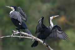 Cormorants are drying their wings Royalty Free Stock Images