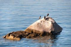 Cormorants em Sardinia fotografia de stock