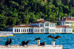 Cormorants enjoying the sun by the Bosphorus of Istanbul, Turkey Stock Photography